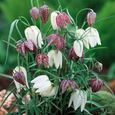 The nodding bell shaped flowers of Fritillaria meleagris are unmistakeable for their snake skin markings. This British wild flower bulb is now protected and rarely seen in its native meadows, but will always attract attention in a woodland garden, rockery, or naturalized in grass.