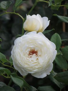 Roses with great scent, read the blog.  Claire Austin (myrrh/anise and vanilla) and Sceptre'd Isle (myrrh/anise) would be great by master bedroom some day.  Also, Jude the Obscure (pale peachy pink color, fruit/spice/old rose scent), Boscobel (dark peachy pink with big cupped bloom, strong scent of myrrh/elderflower/almond/pear), and Wollerton Old Hall.