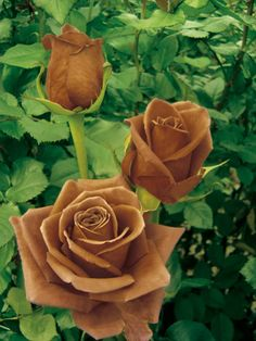 French rose breeder NIRP International has created a chocolate rose called the Terra Nostra.