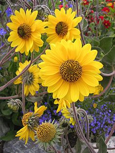 """YELLOW, BLUE AND RED: Helianthus mollis """"Downy Sunflower"""""""