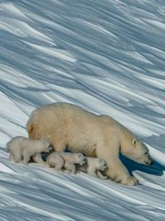 Mommy polar bear with her THREE little bears on tour! Nature Animals, Animals And Pets, Wild Animals, Bear Photos, Love Bear, Tier Fotos, Mundo Animal, Cute Animal Pictures, Cute Baby Animals