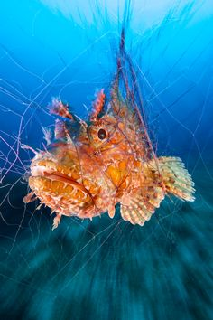 "Photographer Guglielmo Cicerchia snagged a runner-up spot in the contest's Portrait category for this seemingly whimsical, yet dark, shot of a scorpionfish caught up in a fishing net. ""During the dive, I found a fishing"