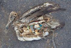 """""""Monet eläimet erehtyvät luulemaan muovihippuja ravinnoksi. Merilinnut saattavat niellä yllättävän suuria esineitä, kuten tupakansytyttimen.""""  TIEDE 29.8.2014 9:26 Arja Kivipelto HELSINGIN SANOMAT  MV PHOTOS"""