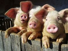 The real three little pigs