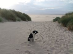 Sproet the sprollie, sprollie at the beach, hond, kruising border collie x Engelse springer spaniel, Texel