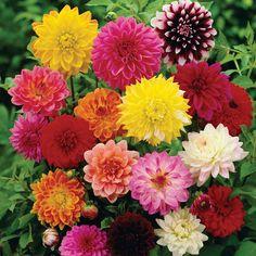 Dahlia variabilis 'Giant Hybrids Mixed' - Half-hardy Annual Seeds - Thompson & Morgan Worldwide