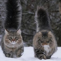 Maine Coons all the way........we have one that looks just like this!