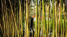 Someone hiding behind bamboo sticks
