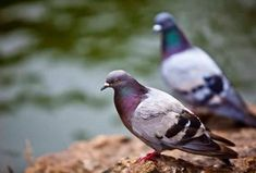 nteresting pigeon Facts Here area unit some fascinating facts regarding pigeons. you'll share your views regarding pigeons and this text . Nature Pictures, Animal Pictures, Feral Pigeon, South By Southwest, Area Units, Pet Birds, Dog Food Recipes, Fun Facts, Like4like