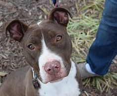 Pictures of Riblett a Pit Bull Terrier for adoption in Dallas, GA who needs a loving home.