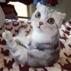Scottish fold kitty called Hana from Japans has garnered over 250k followers on Instagram with her adorable big eyes. [[MORE]]The irresistibly cute 3-year-old cat is sweet and loves to be lazy. We...