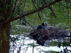 Coot on her nest. by henri.van.den.abeele