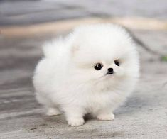 White Pomeranian Puppies, Cute Teacup Puppies, Micro Teacup Pomeranian, Miniature Pomeranian, Teacup Pig, Teacup Chihuahua, Cute Baby Dogs, Cute Dogs And Puppies, Puppies Puppies