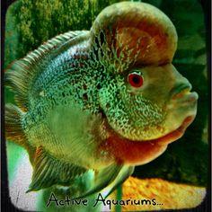 Active Aquariums King Pearl