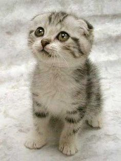 Scottish Fold kitten. Cutest ever? Yes.
