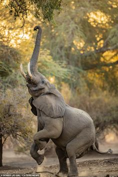 Photographer Bobby-Jo Vial, captured the moment the majestic African elephant kicked b. Bull Elephant, Elephant Love, Elephant Photography, Animal Photography, Wildlife Photography, African Elephant, African Animals, Majestic Animals, Animals Beautiful