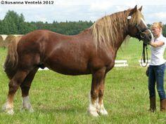 Estonian Draught - stallion Hälvin