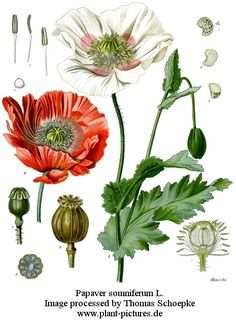 I would like a botanical drawing of a poppy as a tattoo.