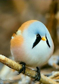This sweet little bird is the Bearded Reedling also know as the Bearded Tit. - by David Drangsland