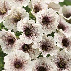"The Superbell Mini petunia ""White Russian"" looks great with purple and black petunias. Also Superbells Cherry. White Russian, Moon Garden, Dream Garden, Petunia Plant, Petunia Flower, Cape Gooseberry, Potato Vines, Drought Tolerant Landscape, Gardens"