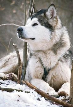 "My ears stand erect, and I turn my head to see my master. My master is my human, who put this wretched harness on me, but it barely presses against my skin. ""Siberia! Siberia!"" My master calls. They named me after my kind, the Siberian Husky. And so I come. In a minute."