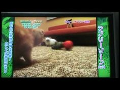 Cute Scottish Fold Munchkin Kittens! Funny pet videos on crazy Japanese TV game show http://omgthisissocute.com/cute-scottish-fold-munchkin-kittens-funny-pet-videos-on-crazy-japanese-tv-game-show/ #Animals, #Baby, #Bizarre, #Cats, #Celebrit, #Crazy, #Fold, #Funny, #Game, #Japanese, #Kittens, #Munchkin, #Odd, #Pets, #Scottish, #Show, #Silly, #Television, #Tokyo, #Tv, #Weird