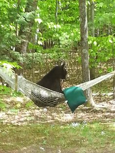 Found this photo's on FB. from u local North Conway bear in hammock. Cute Baby Animals, Animals And Pets, Funny Animals, Big Bear Camping, Animals Beautiful, Beautiful Creatures, Love Bear, Bear Art, Bear Cubs