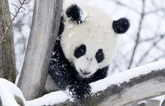A panda plays with snow at the zoo in Vienna
