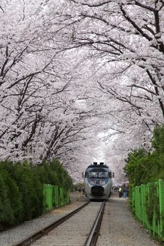 The Korail Train to Jinhae underneath a canopy of cherry blossoms during the 2012 Cherry Blossom Festival - Korea. Photo: Peter Said.