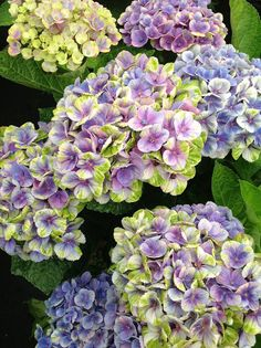 Hydrangea Everlasting Amethyst in blue form today in the Kolster greenhouses. Isn't this one of the most beautiful hydrangea blooms you've ever seen?