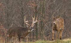 Monster Whitetail Deer Pictures | Click on these thumbnail images to see a larger image. )