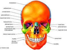 Bildergebnis für cranium anatomy