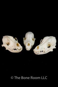 coyote skull, aardwolf skull, badger skull, beaver skull, bobcat skull, cat skull, caracal skull, dog skull, fox skull, opossum skull, rabbit skull, otter skull, hyrax skull, marten skull, mouse skull, muskrat skull, nutria skull, porcupine skull, rat skull, skunk skull, raccoon skull, mink skull
