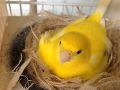 Beautiful fife canary on her nest.