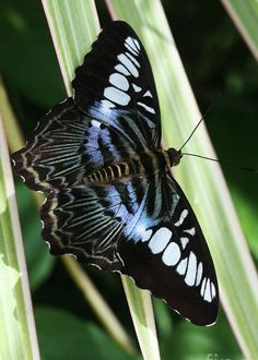 Blue Clipper Butterfly by Judy Whitton