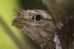 Los Podargos habitan en las profundidades de los bosques tropicales de India y Sri Lanka. Esta ave es conocida por su excelente capacidad de camuflaje. Su nombre se debe a la forma de su boca y su alimentación a base de pequeños insectos, animales y ranas.