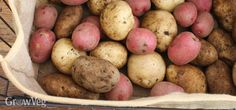 Your potatoes have been gently harvested and cured, and now you need a place to put them that's cool, dark, and safe from critters. You have more potato storage options than you might think...