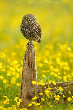 A wild Little Owl (Athene noctua) giving me a classic look, in a meadow of Buttercups. York, North Yorkshire, UK
