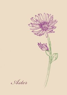Aster eine von wilden Blumen aster flower - Blume Ideen Aster one of wild flowers aster flower Aster Tattoo, Aster Flower Tattoos, Name Flower Tattoo, Birth Flower Tattoos, Flower Tattoo Shoulder, Flower Tattoo Designs, Tattoo Flowers, Drawing Flowers, September Birth Flower