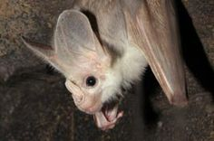 Isabelle's ghost bat | Greater Ghost Bat