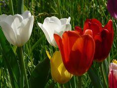 Rady nejen do zahrady     : Tulipány