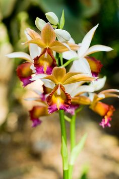 """""""Orchid Mania: This Side of Paradise"""" at Cleveland Botanical Garden"""