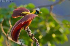 Biologia-Vida: Beleza sem igual: Ave-Vermelha-do-Paraíso / Unique beauty: Red Bird-of-paradise (Paradisaea rubra)