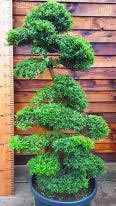 Large Cloud tree, Japanese Holly, Ilex Crenata for sale online UK delivery