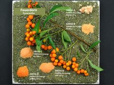 Pyracantha and Pigments