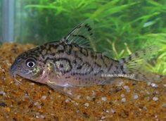 False Network Cory (Corydoras sodalis) www.fishkeeper.co.uk #tropicalfish