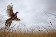 North Dakota pheasant