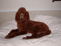 California Red Standard Poodles TX Irish Setter Puppy Breeder CA Lady in Red is the Mamma! She looks like royalty! Red Poodles, Standard Poodles, Irish Setter, Yorkie, Lady In Red, Royalty, California, Puppies, Dogs
