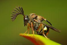 دبابير Eucharitidae هي عائلة من الدبابير تعيش متطفلة على النمل. وهي تصنف من أشباه الطفيليات، حيث تلتصق يرقات الدبور حديثة التفقيس بالنمل ومنها تنتقل إلى الخلية حيث تلتصق بيرقات النمل وتبدأ تعتاش عليها وتلتهمها.    وعندما تكبر اليرقة وتخرج من الحاضنة تكون قد اكتسبت رائحة النمل الحاضن، وهذا يعمل كتمويه شمي بالنسبة للنمل فلا يهاجم الدبابير الغريبة التي تظهر فجأة في الخلية. وتبقى الدبابير في خلية النمل فترات متراوحة تنتهي عندما تزول الرائحة منها.