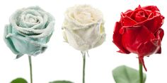 Flower Export News Item Wax Roses by Primera Winter Wonderland